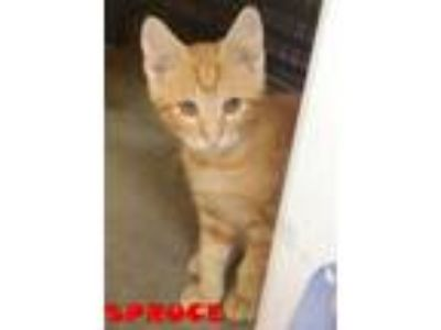 Adopt SPRUCE a Domestic Short Hair