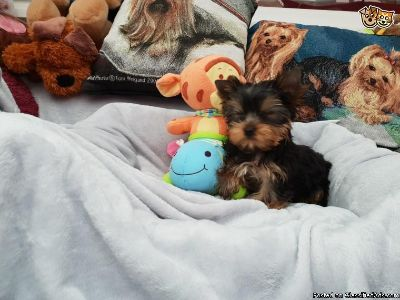 Precious Male Yorkie Puppy