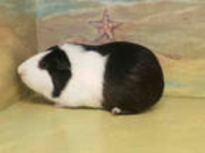 Adopt OREO a Black Guinea Pig / Mixed small animal in Agoura, CA (25345156)