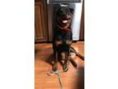 Adopt Dutchess a Black - with Tan, Yellow or Fawn Rottweiler / Mixed dog in