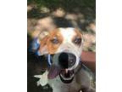 Adopt Keifer a Pointer, Labrador Retriever