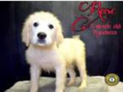 Adopt Rose a Great Pyrenees