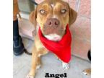 Adopt Angel a Brindle American Staffordshire Terrier / Labrador Retriever dog in