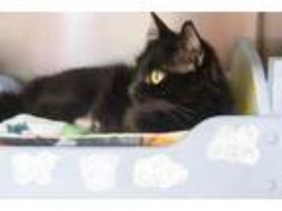 Adopt Cersei a All Black Domestic Longhair / Domestic Shorthair / Mixed cat in