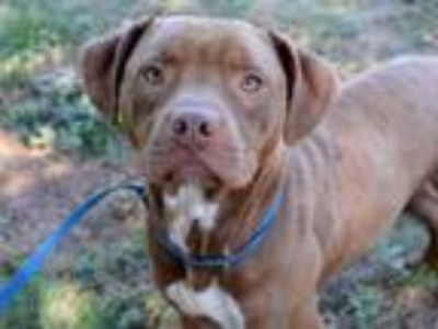 Adopt FOZZY a Pit Bull Terrier