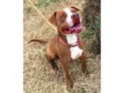 Adopt Chisel a Staffordshire Bull Terrier