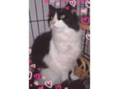 Adopt Poe a Black & White or Tuxedo Domestic Longhair (long coat) cat in