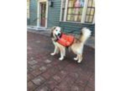 Adopt Rocky a Red/Golden/Orange/Chestnut Golden Retriever / Mixed dog in