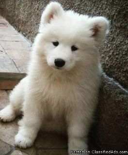 Darling male and female Samoyed Puppies for sale.