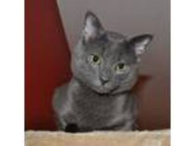 Adopt Smokey a Gray or Blue Domestic Shorthair / Mixed cat in Winston Salem