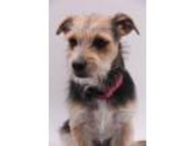 Adopt Paige a Wirehaired Terrier, Terrier