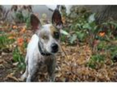 Adopt Yodellee a Parson Russell Terrier, Chinese Crested Dog