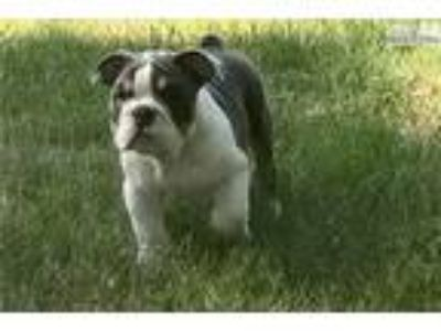 Christopher AKC Blue Tri English Bulldog Available