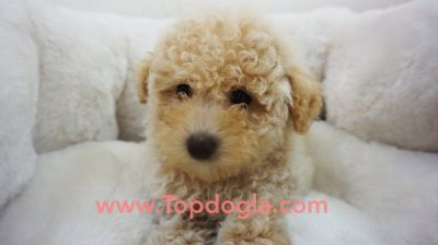 Maltipoo Puppy - Male- Charlie ($1.299)