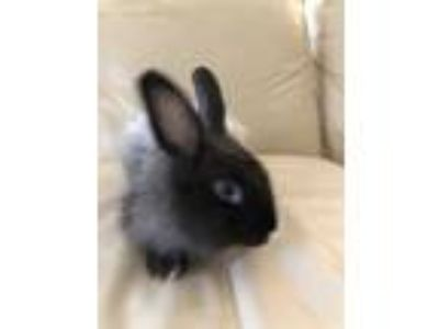 Adopt Fluffy a Multi Jersey Wooly / Mixed (long coat) rabbit in West Palm Beach
