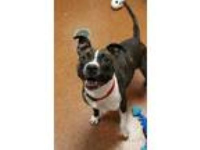 Adopt DIAMOND-NEEDS TRAINER OR RESCUE GROUP! a Staffordshire Bull Terrier