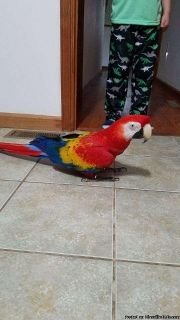 loving and amazing Scarlets Macaws