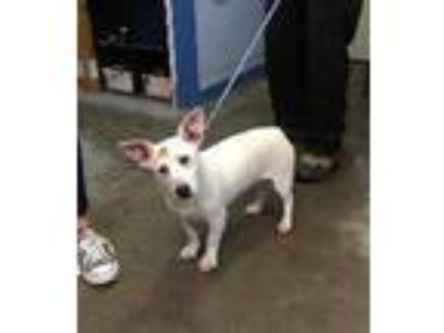 Adopt Georgie a White Corgi / Terrier (Unknown Type, Small) / Mixed dog in