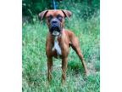 Adopt DIESEL a Brown/Chocolate - with White Boxer / Mixed dog in Darien