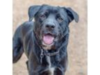 Adopt Prince a Black Labrador Retriever / Mixed dog in Carrollton, TX (24588784)