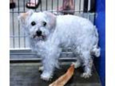Adopt Hs231883/fluffy a Terrier, Poodle