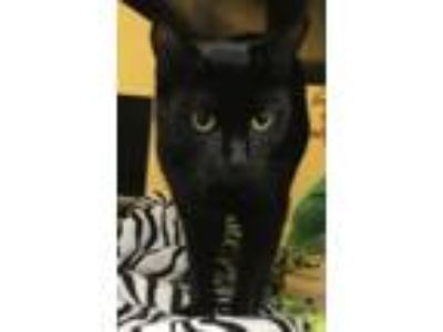 Adopt GUSSEPI a Domestic Short Hair