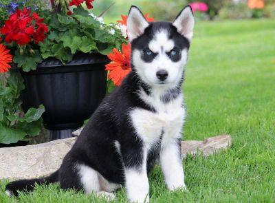 Siberian Husky PUPPY FOR SALE ADN-79246 - Siberian Husky Puppy For Sale