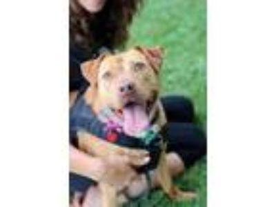 Adopt Diva a Red/Golden/Orange/Chestnut Labrador Retriever / Terrier (Unknown