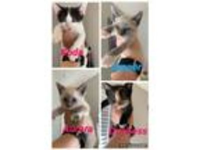 Adopt Kittens **Fosters Needed Starting 6/9** a Domestic Longhair / Mixed (long