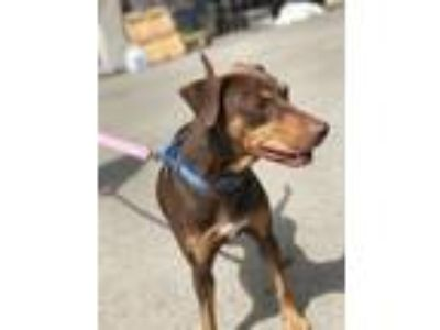 Adopt Calypso a Doberman Pinscher / Whippet / Mixed dog in Silverdale