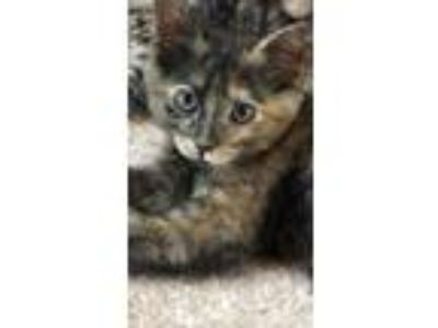 Adopt Freckles a Tortoiseshell