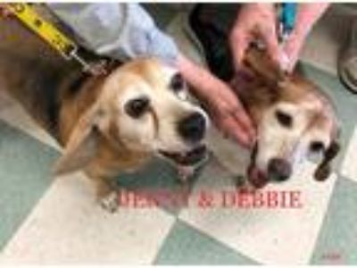 Adopt JENNY & DEBBIE a Tricolor (Tan/Brown & Black & White) Beagle / Mixed dog