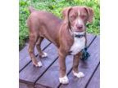 Adopt Mindy a Brown/Chocolate Labrador Retriever / Mixed dog in Fairfax