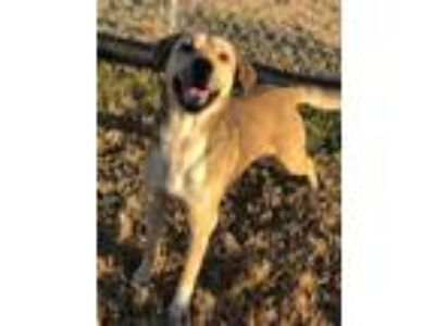 Adopt Fenway a Labrador Retriever, Black Mouth Cur