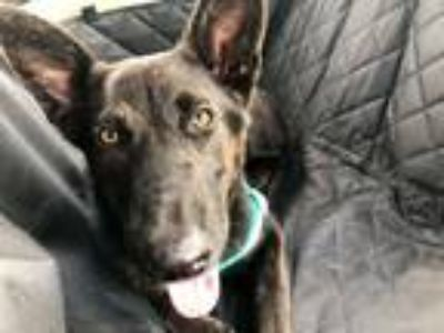 Adopt Leyla a Black German Shepherd Dog dog in Spring, TX (25489251)
