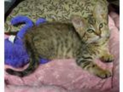 Adopt WOBBLES a Domestic Shorthair / Mixed (short coat) cat in Wintersville
