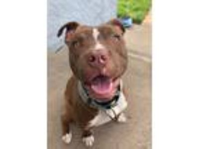 Adopt Titan a Red/Golden/Orange/Chestnut American Pit Bull Terrier / Mixed Breed