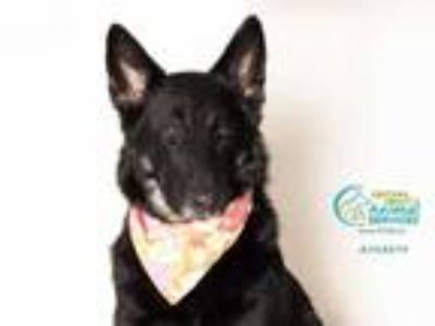 Adopt a Black - with White German Shepherd Dog / Mixed dog in Camarillo
