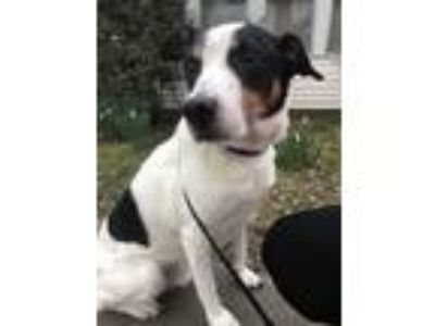 Adopt Rodgers a Tricolor (Tan/Brown & Black & White) Collie / Terrier (Unknown