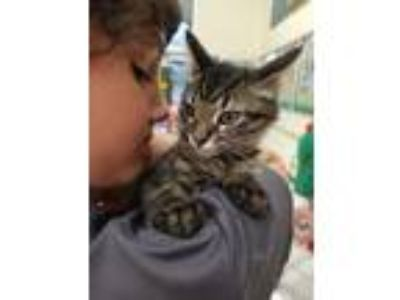 Adopt Anthony M Hall a Domestic Short Hair, Tiger
