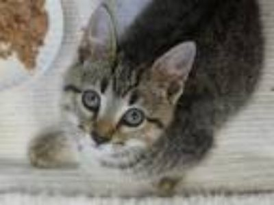 Adopt OLLIE a Brown Tabby Domestic Shorthair / Mixed (short coat) cat in Fort
