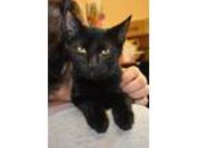Adopt Cole a All Black Domestic Shorthair / Domestic Shorthair / Mixed cat in