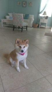 Shiba Inu PUPPY FOR SALE ADN-102752 - Shiba Inu Female Puppy