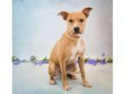 Adopt Pen 203$ Alex a Pit Bull Terrier, Labrador Retriever
