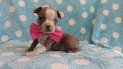 Boston Terrier PUPPY FOR SALE ADN-87437 - AKC Boston Terrier Lilac