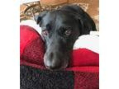 Adopt Dixie a Black Labrador Retriever / Mixed dog in Katy, TX (24597924)