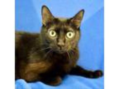 Adopt Dragonfruit a Domestic Short Hair