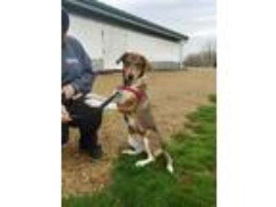 Adopt Daisy a Brown/Chocolate Collie / Mixed dog in Monroe, WI (25217515)