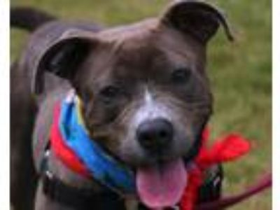 Adopt SOLANGE a Pit Bull Terrier, Mixed Breed