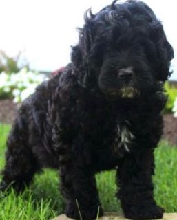 Miniature Bernedoodle PUPPY FOR SALE ADN-93908 - Jaxon has been adopted